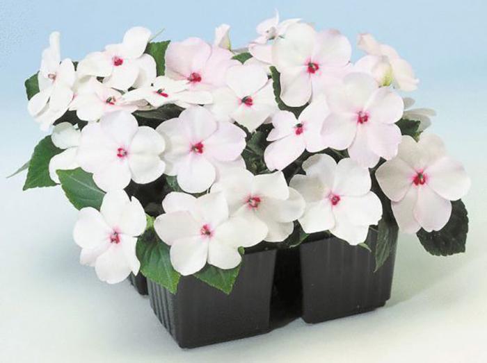 Цветок Бальзамин