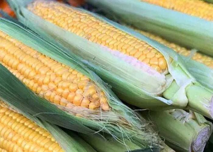 Уборочная кампания кукурузы стартовала в Приморье