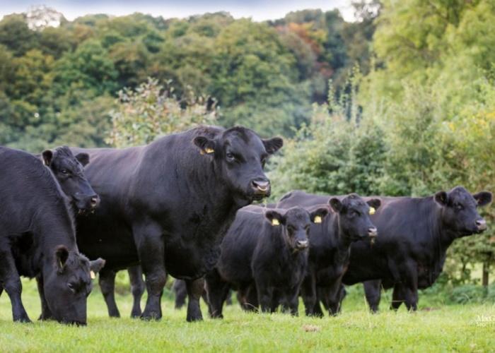 В Калужской области поголовье мясного скота возросло более чем в 40 раз