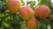 Выдающиеся сорта абрикоса