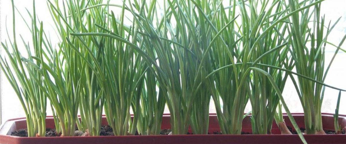 Выращивание лука на перо на подоконнике