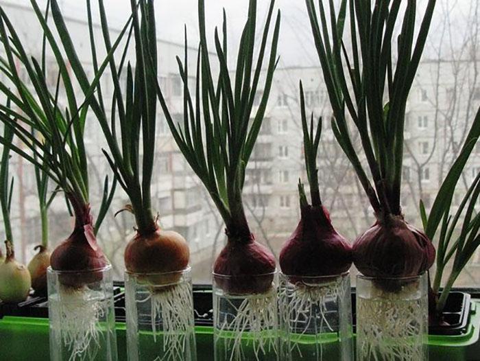 Выращивание лука на подоконнике в воде