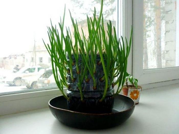 Выращивание в бутылке (луковый кактус)