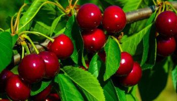 Выращивание вишни: как посадить и ухаживать за деревом