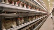 Птицефабрика «Островная» намерена в три раза увеличить производство мяса бройлеров