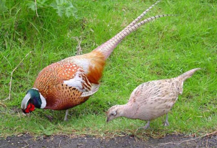 Разведение фазанов как бизнес