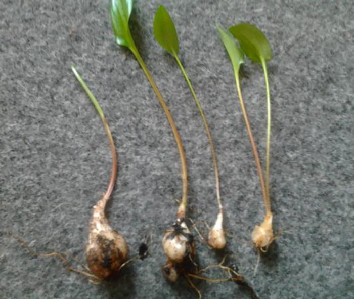 Дримиопсис: виды и выращивание цветка