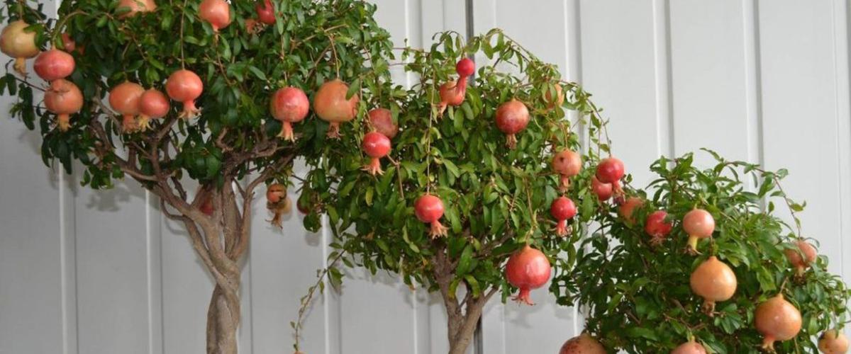 Домашний гранат выращивание и уход за деревом дома