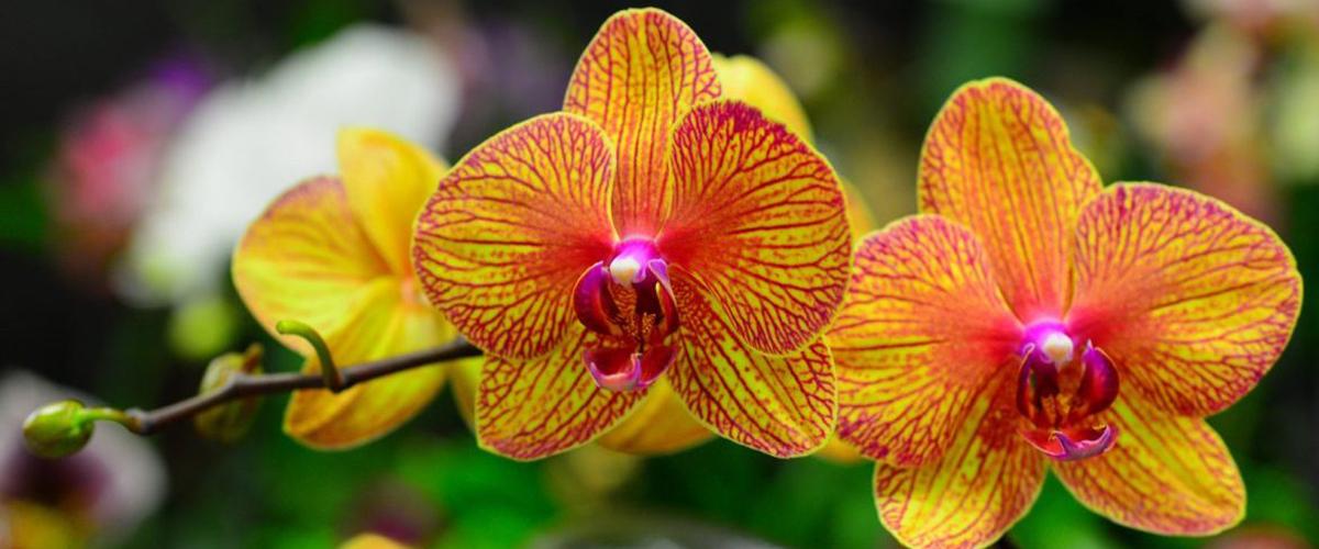 Что нужно делать когда отцвела орхидея