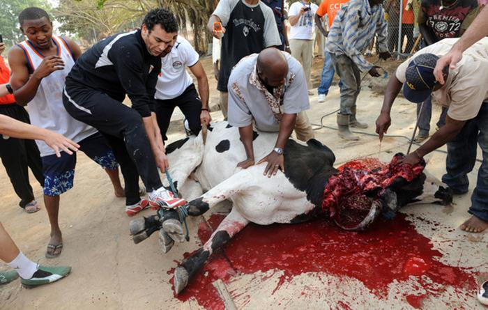 Как убивают коров