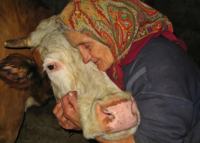 Забой скота: как правильно подготовить и зарезать корову