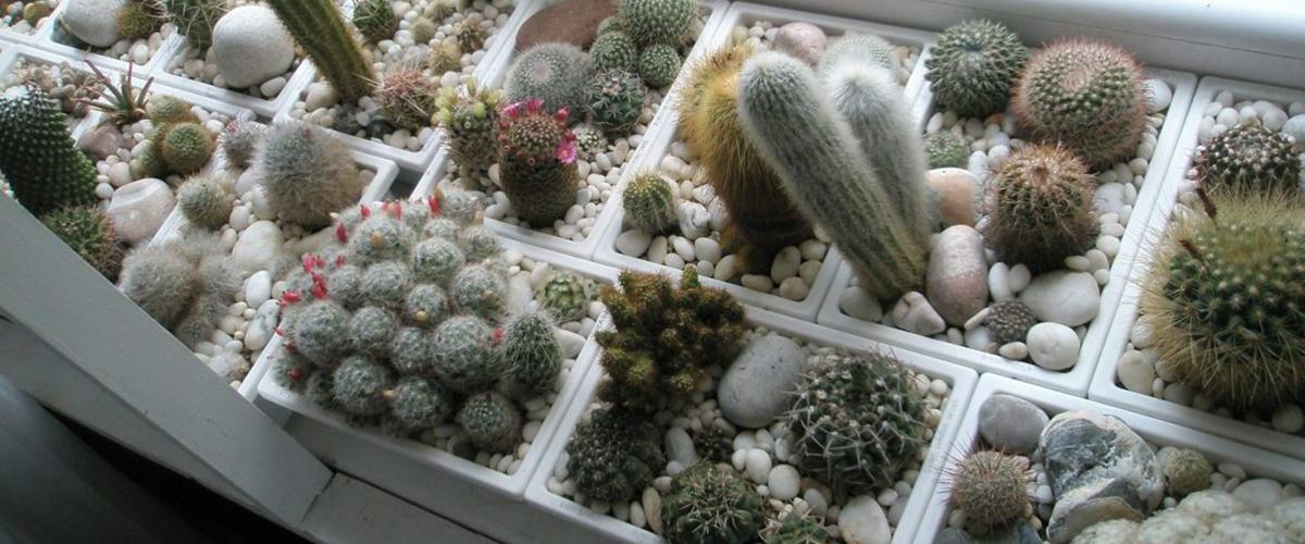 Как ухаживать за кактусами зимой