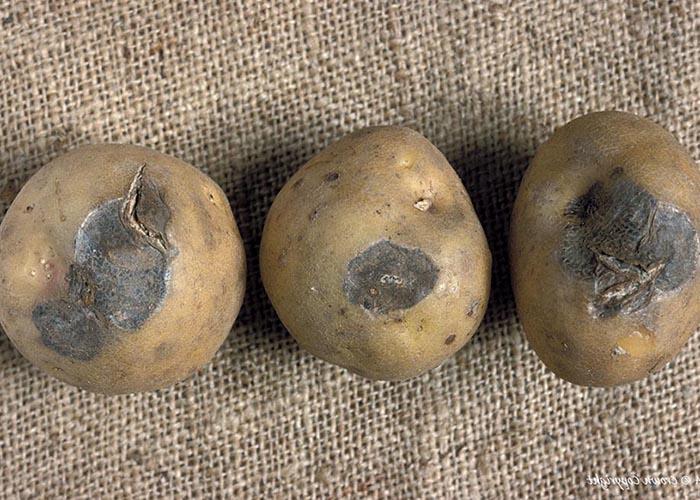 Картошка о каких болезнях расскажут клубни