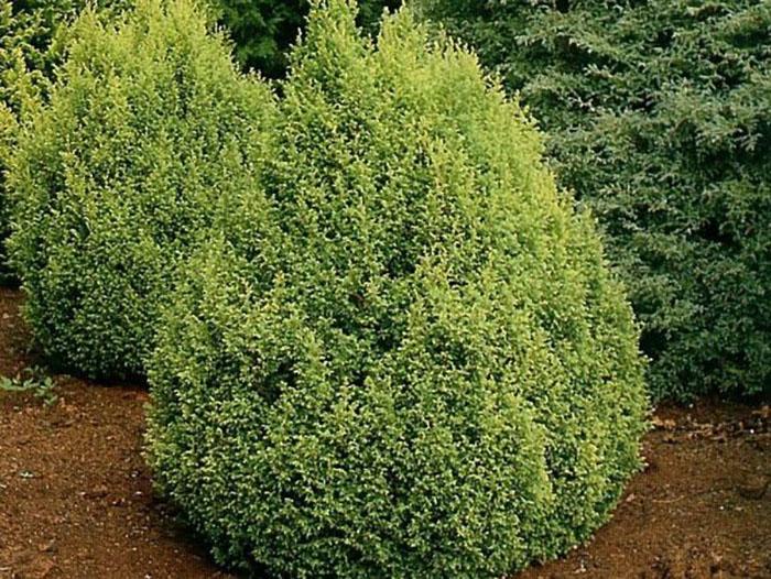 Кипарисовик «Плумоза Ауреа (lat. Plumosa Aurea)»