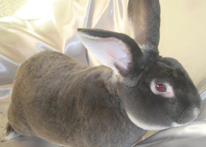 Короткошерстная порода кроликов