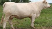 Коровы породы шароле