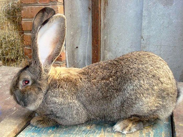 Кролики породы обер