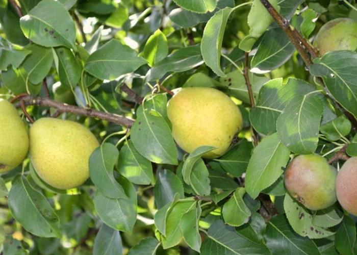 Могут ли яблони расти на груше