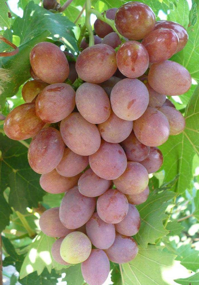 телепередаче, виноград русский янтарь фото китайской провинции сэчуань