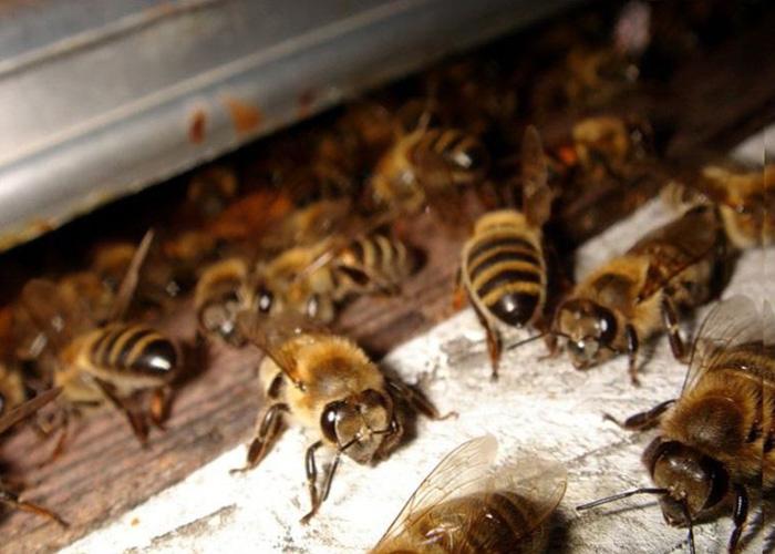 Незаразные болезни пчел
