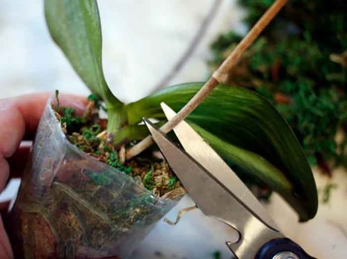 Орхидея после цветения: обрезка цветоноса