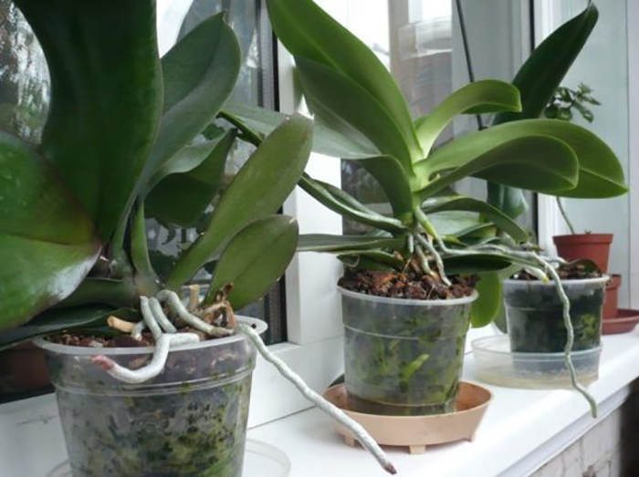 Орхидея после цветения: период покоя