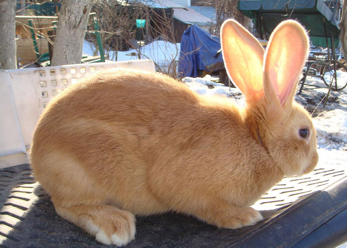 Особенности и описание бургундской породы кроликов