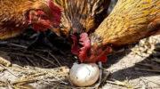 Почему куры расклевывают свои яйца
