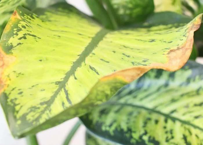 Почему у диффенбахии желтеют листья что делать