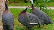 Разведение царской птицы в домашних условиях