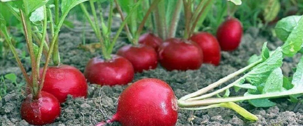 Редис в теплице посадка и выращивание