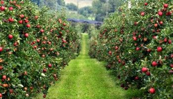 В Дагестане намечено заложить более 1000 гектаров садов