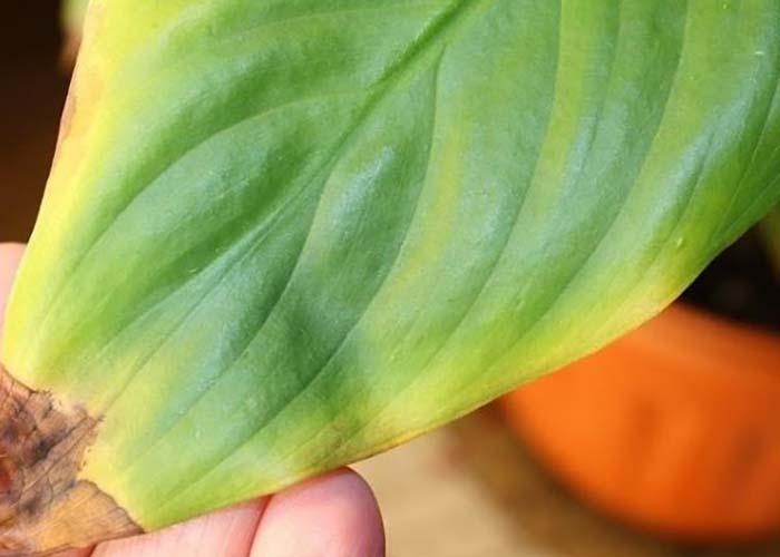 Сохнут кончики листьев