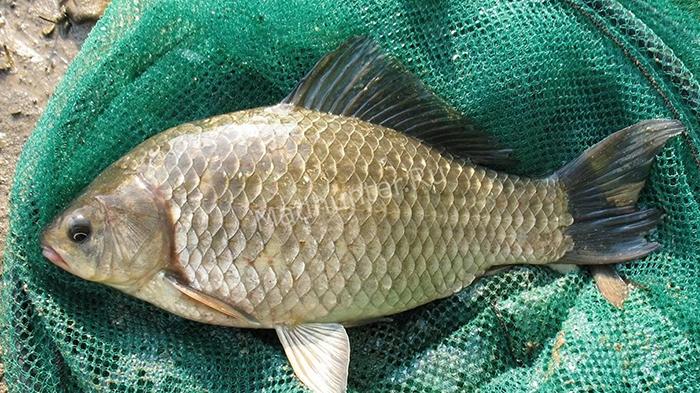 Странная рыба карась