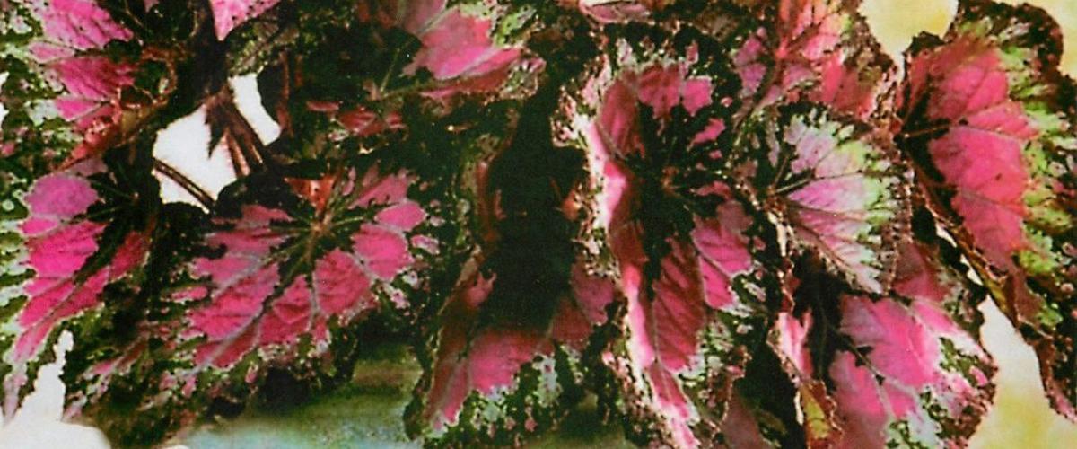 Цветок бегония королевская: основы выращивания и ухода в домашних условиях