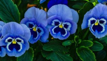 Цветок Виола — буйство красок