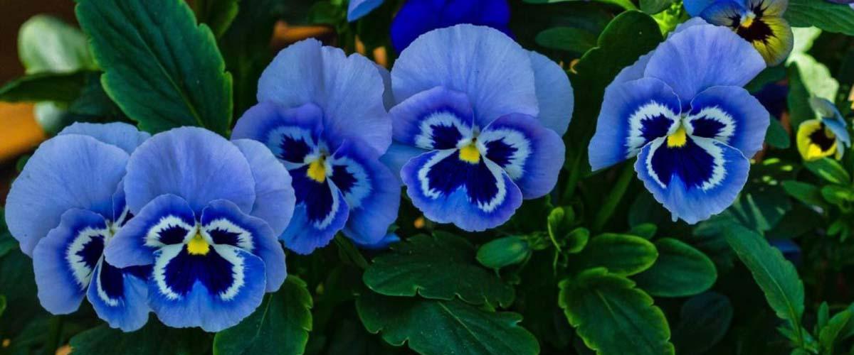 Photo of Цветок Виола — буйство красок