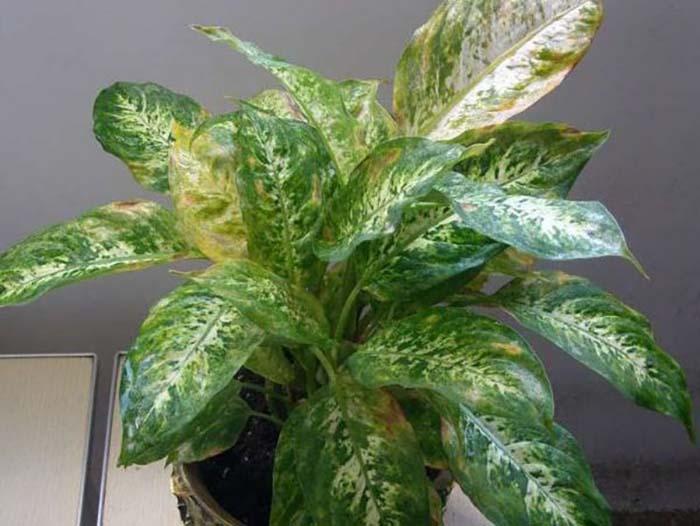 У диффенбахии желтеют и сохнут листья