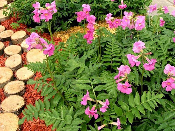 Условия для выращивания растения инкарвиллея