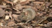 В Дагестане грызуны могут нанести ущерб полям и сельхозугодьям