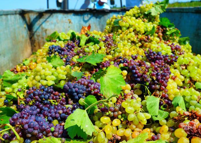 В Дагестане собран рекордный за 30 лет урожай винограда