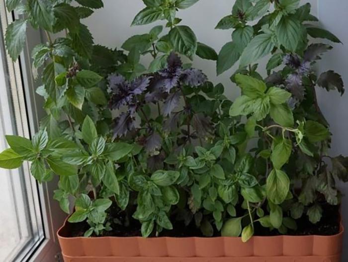Как посадить и вырастить базилик на подоконнике