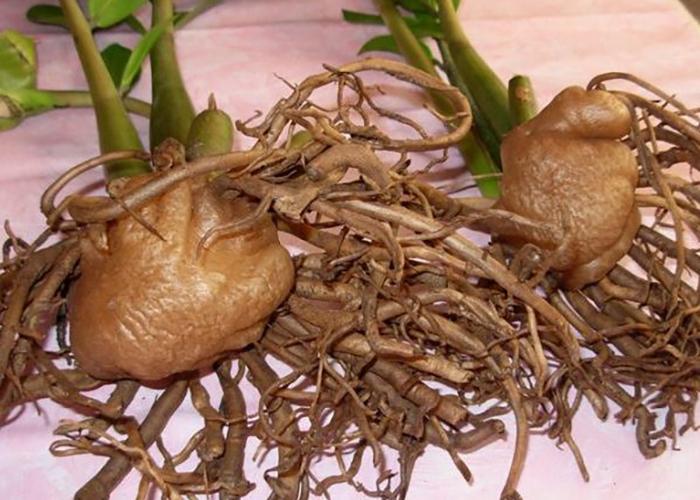 Замиокулькас: пересадка клубней