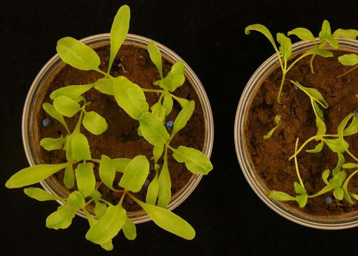 Photo of Живущие в растениях бактерии защищают их от инфекций
