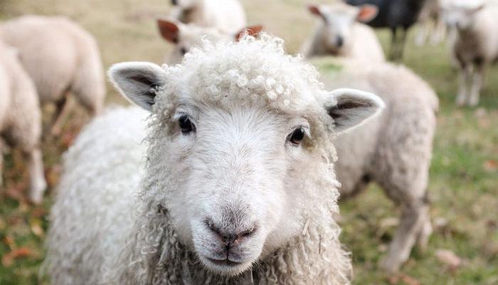 Минсельхоз работает над стратегией развития овцеводства и козоводства