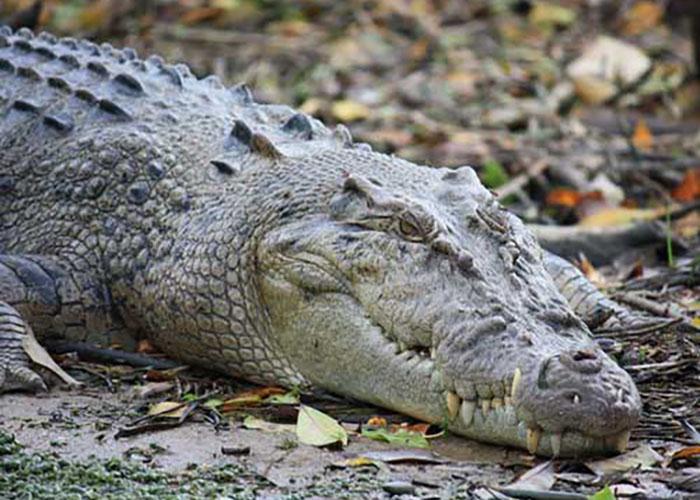 Где обитает гребнистый крокодил