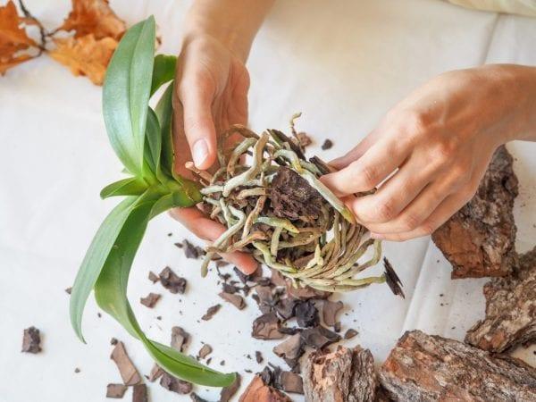 Как пересадить орхидею в домашних условиях-min