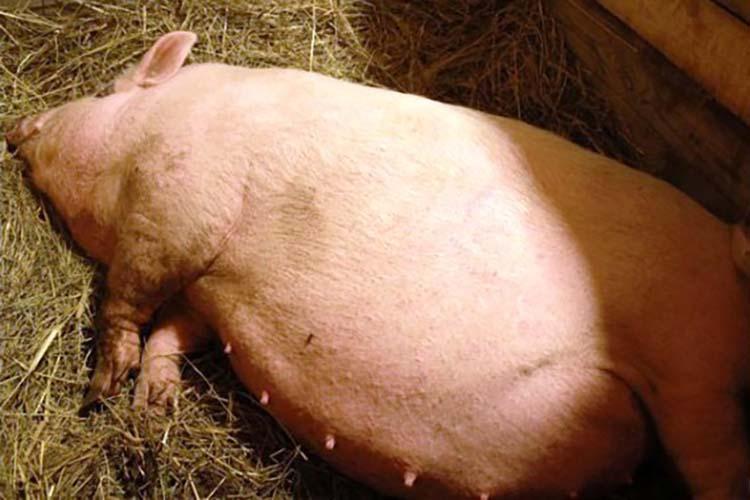 Календарь опороса свиней