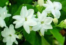 Комнатный жасмин Самбак выращивание и уход