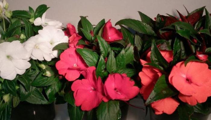 Красавец бальзамин новогвинейский – правильный уход для круглогодичного цветения